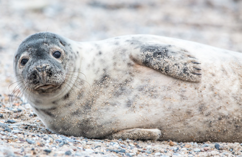 Baby seal on its side on sandy beach looking at camera