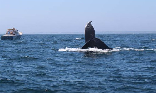 Tail flukes of right whale in ocean showing above the water with small boat in background